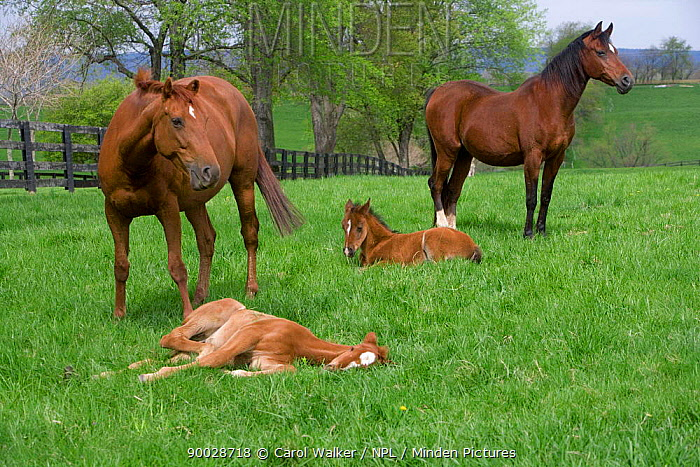 Thoroughbred and Arabian mares (Equus caballus) with foals, Virginia, USA  -  Carol Walker/ npl