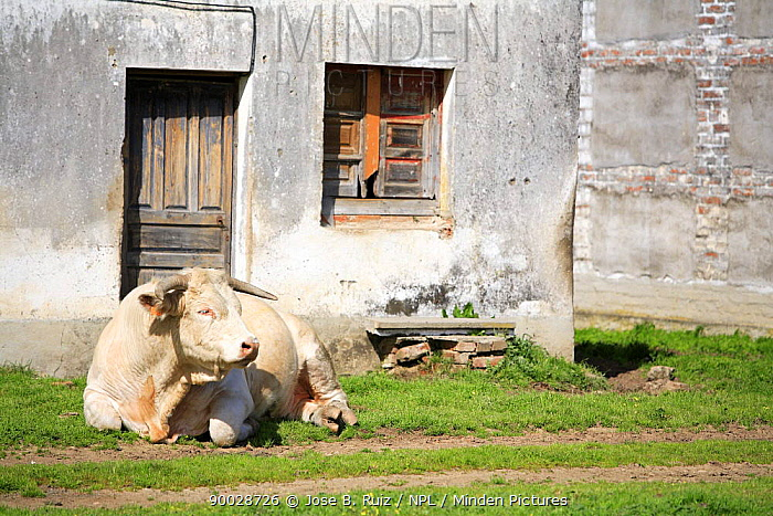Bull (Bos taurus) resting infront of house, Cacerena, Spain  -  Jose B. Ruiz/ npl