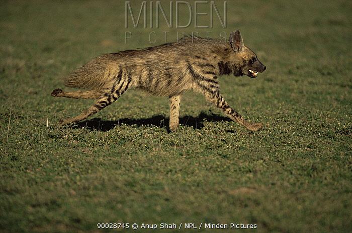 Striped Hyena (Hyaena hyaena) running, Serengeti National Park, Tanzania  -  Anup Shah/ npl