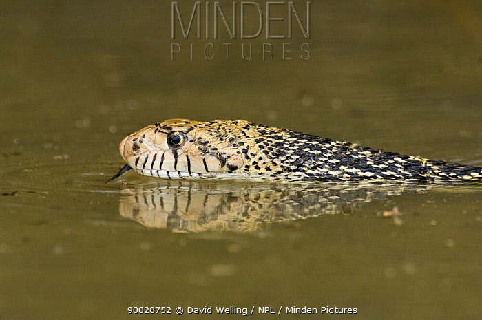 Bullsnake (Pituophis melanoleucus sayi) drinking in pool, Rio Grande Valley, Texas, USA  -  David Welling/ npl