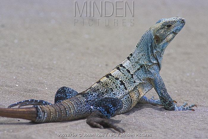Black Spiny-tailed Iguana (Ctenosaura similis) on beach, Pacific coast, Costa Rica  -  Jouan & Rius/ npl