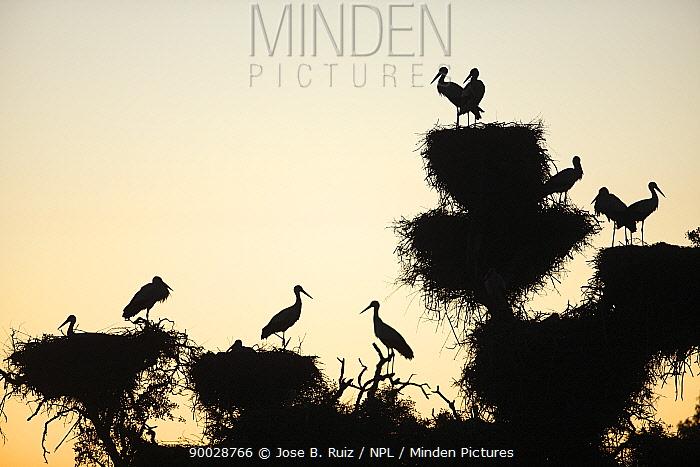White Stork (Ciconia ciconia) nesting in tree canopy in Dehesa de Abajo protected area, Seville, Spain  -  Jose B. Ruiz/ npl