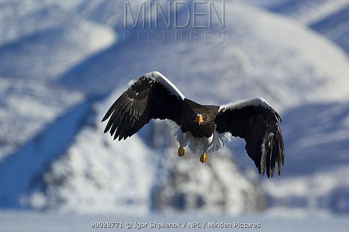 Steller's Sea Eagle (Haliaeetus pelagicus) flying, about to land, Kuril Lake, Kamchatka, Far East Russia  -  Igor Shpilenok/ npl