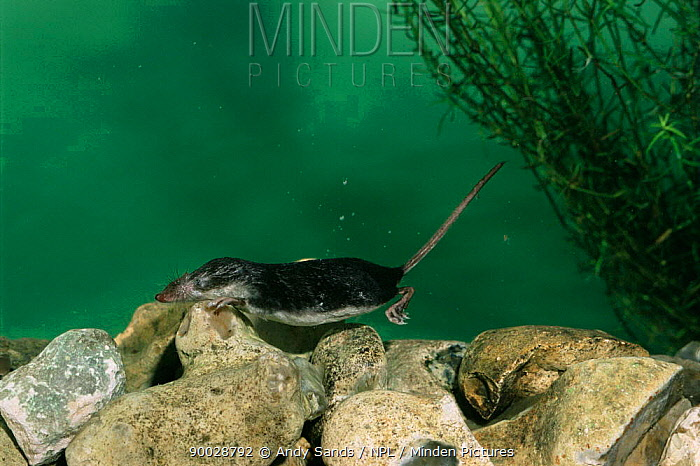 Eurasian Water Shrew (Neomys fodiens) swimming underwater Captive United Kingdom  -  Andy Sands/ npl