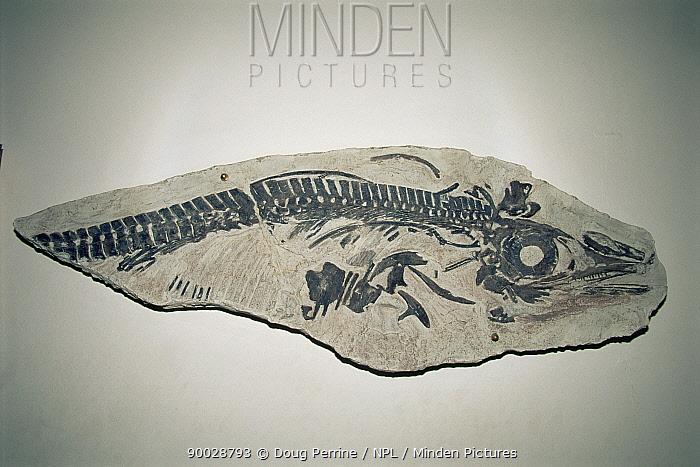 Fossil ichthyosaur (Opthalmosaurus monocharactus) Argentina  -  Doug Perrine/ npl