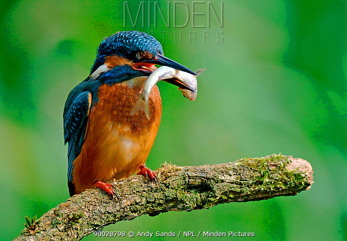 Common Kingfisher (Alcedo atthis) with fish prey, United Kingdom  -  Andy Sands/ npl