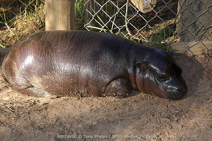 Pygmy Hippopotamus (Choeropsis, Hexaprotodon liberiensis) 2-month Baby, Cango Wildlife Ranch, Oudtshoorn, Little Karoo, South Africa, captive  -  Tony Phelps/ npl