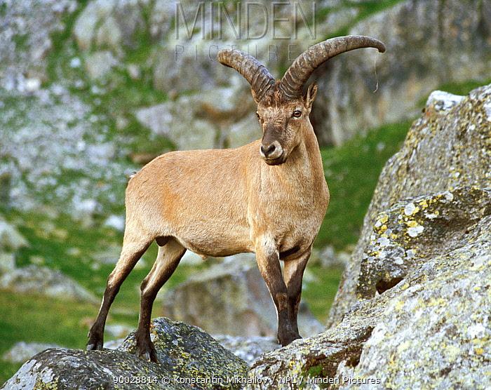 West Caucasian Tur (Capra caucasica) male, Teberdinskii NR, Karachaevo Cherkessiya, Russia  -  Konstantin Mikhailov/ npl