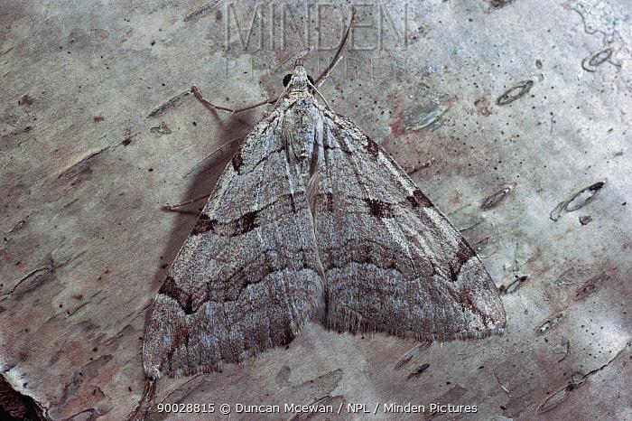 Treble bar moth (Aplocera plagiata) on silver birch bark, Scotland, UK  -  Duncan McEwan/ npl