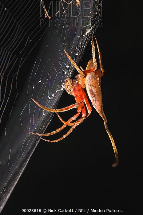 Tropical spider camouflaged as dead leaf, on web, Sabah, Borneo  -  Nick Garbutt/ npl