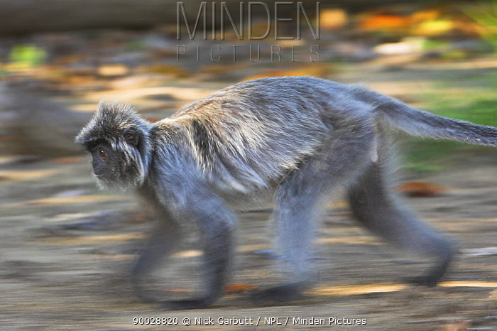 Silvered Langur (Presbytis cristata) running on forest floor Bako National Park, Sarawak, Borneo  -  Nick Garbutt/ npl