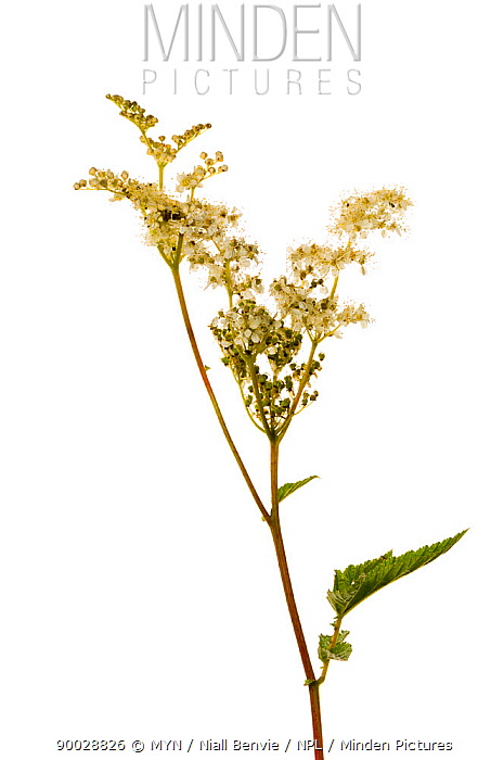 Meadowsweet (Filipendula ulmaria) in bloom, Scotland United Kingdom  -  Niall Benvie/ npl