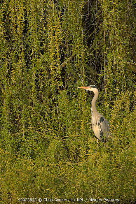 Grey Heron (Ardea cinerea) adult perched in Willow tree Hertfordshire, England  -  Chris Gomersall/ npl