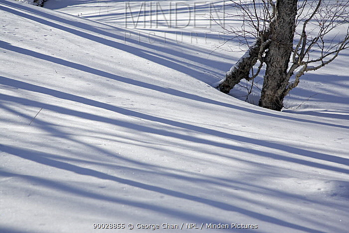 Tree shadows on snow in the forests on Changbai Shan mountain North-east China's most famous mountain, Changbai Shan sits in Jilin Province on the border with North Korea January 2007  -  George Chan/ npl