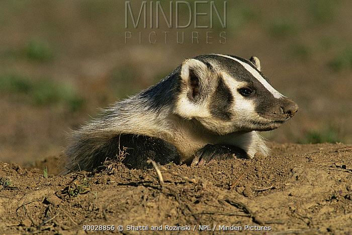American Badger (Taxidea taxus) at burrow, Rocky Mt Arsenal NWR, Colorado  -  Shattil & Rozinski/ npl