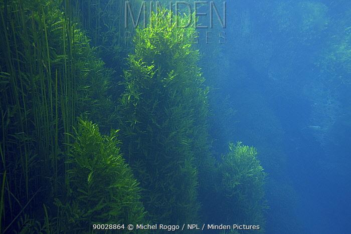 Water plants in underwater landscape in chalk stream, Croatia, October  -  Michel Roggo/ npl