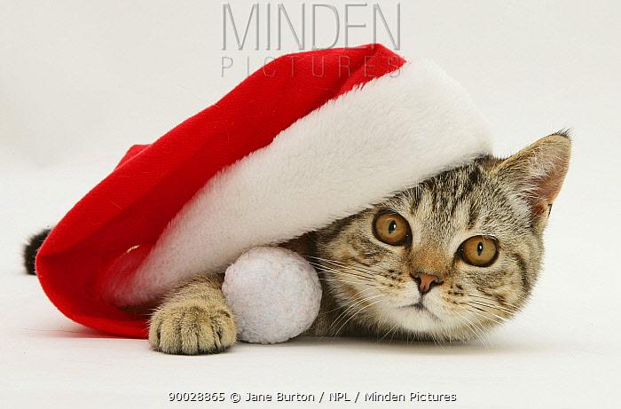 Domestic Cat (Felis catus)Tabby cat under a Father Christmas hat  -  Jane Burton/ npl