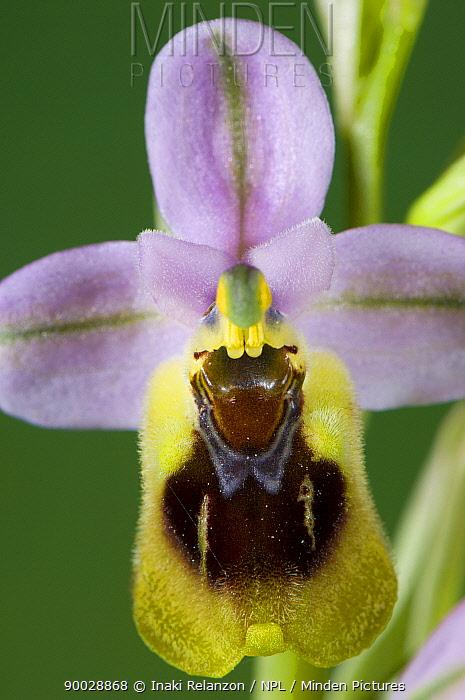 Sawfly orchid, (Ophrys tenthredinifera) Menorca, Balearic Islands, Spain  -  Inaki Relanzon/ npl