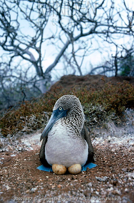 Blue-footed Booby (Sula nebouxii) incubating two eggs Galapagos, Ecuador  -  Georgette Douwma/ npl