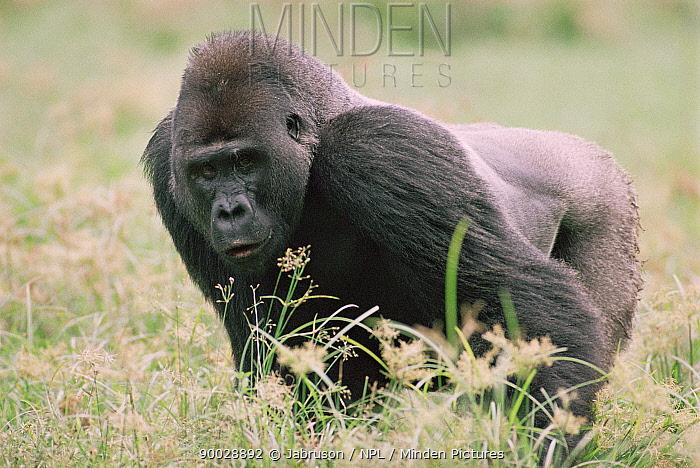 Western Lowland Gorilla (Gorilla gorilla gorilla) male feeding, Lokoue bai, Odzala National Park, Democratic Republic of Congo  -  Jabruson/ npl