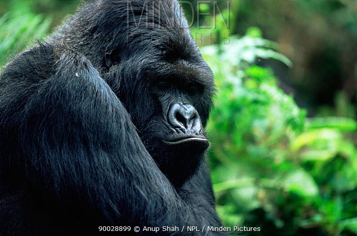 Mountain Gorrilla male (Gorilla gorilla berengei) Parc Des Volcans National Park, Rwanda  -  Anup Shah/ npl