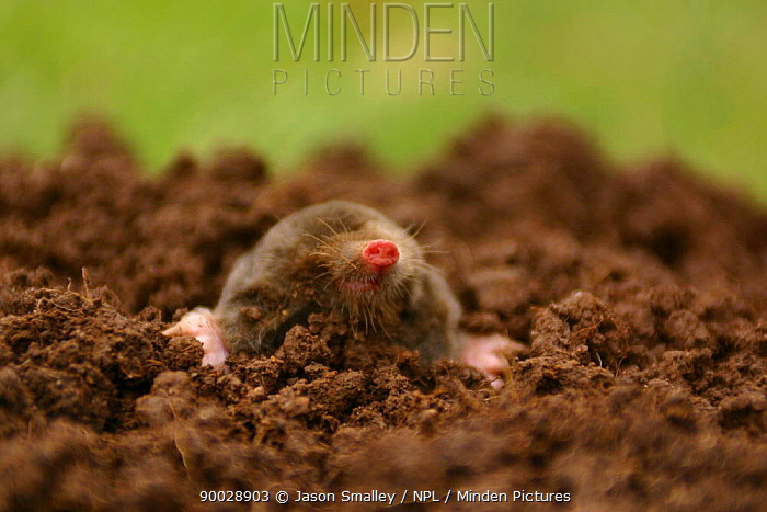 European Mole (Talpa europaea) head poking out of mole hill, dead specimen, United Kingdom  -  Jason Smalley/ npl