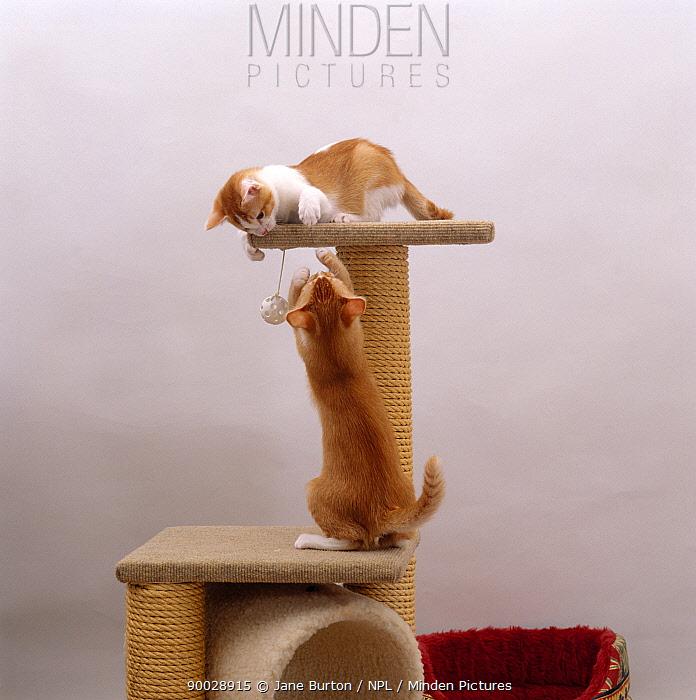 Domestic Cat (Felis catus) kittens playing on a scratchpost  -  Jane Burton/ npl