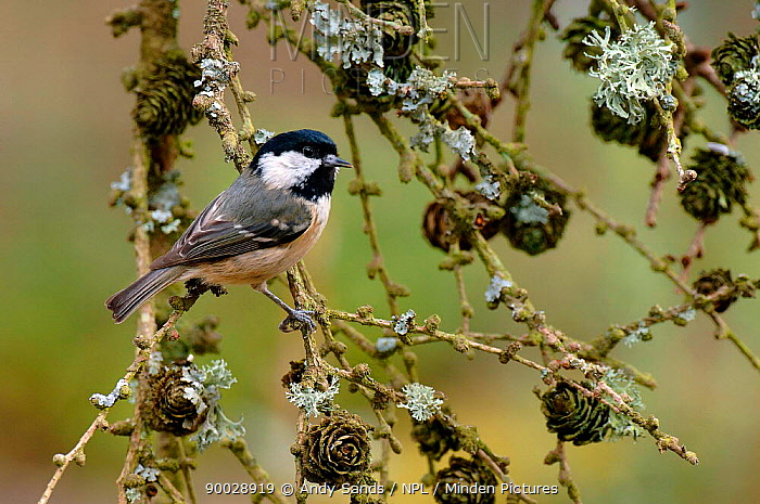 Coal Tit (Parus ater) perching on branches with Larch cones, West Sussex, United Kingdom  -  Andy Sands/ npl