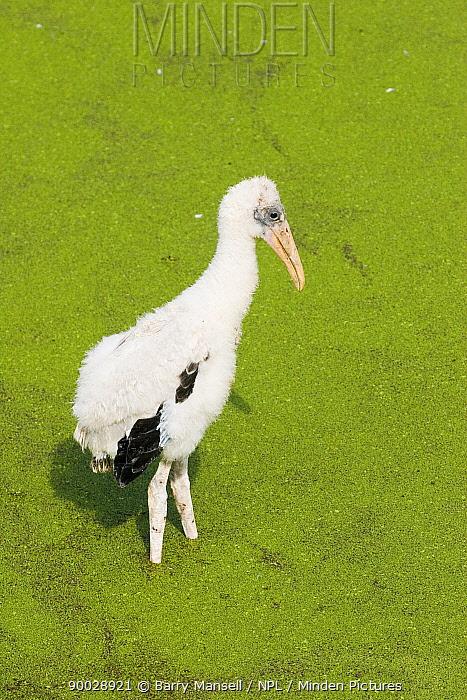 Wood Stork (Mycteria americana) juvenile, Florida  -  Barry Mansell/ npl