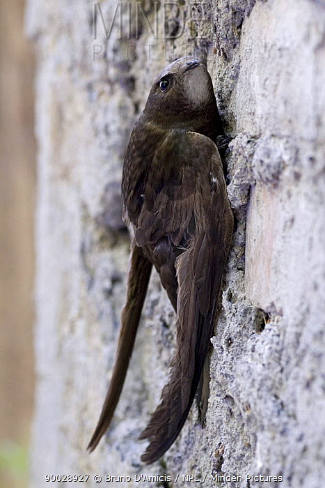 Common Swift (Apus apus) perching on wall, Italy  -  Bruno D'amicis/ npl