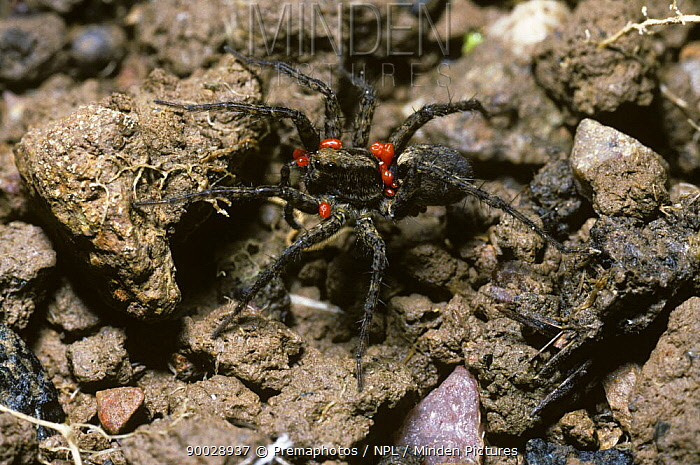 Meadow wolf spider (Pardosa prativaga) female carrying several red phoretic mites, UK  -  Premaphotos/ npl