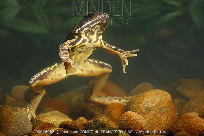 Common Frog (Rana temporaria) underwater, Picos de Europa National Park, Spain  -  Jose Luis Gomez De Francisco/ np