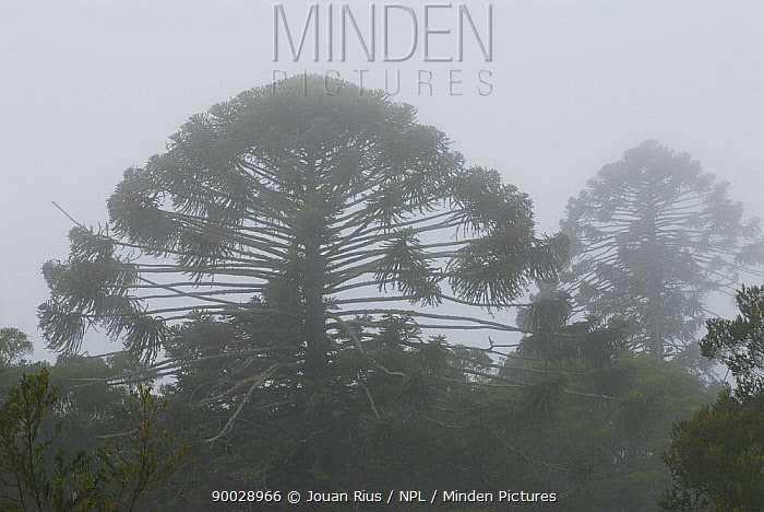 Bunya pines (Araucaria bidwillii) silhouetted in mist, Bunya Mountains NP, Queensland, Australia  -  Jouan & Rius/ npl