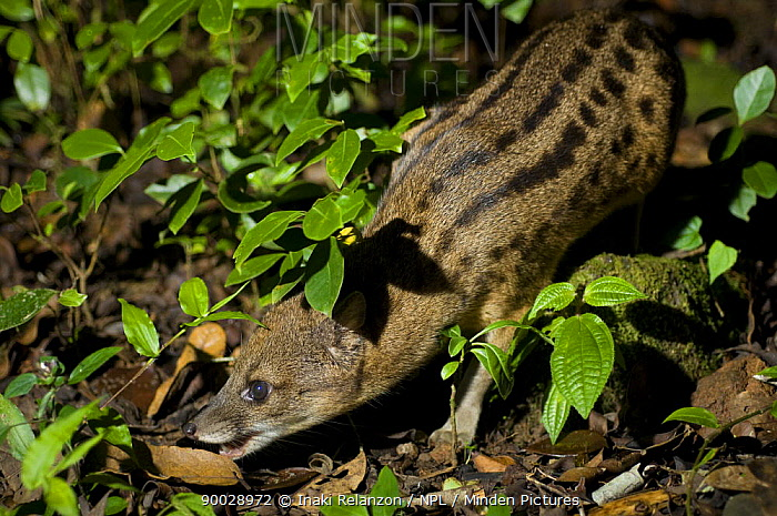 Striped Civet (Fossa fossana) Ranomafana National Park, Madagascar  -  Inaki Relanzon/ npl