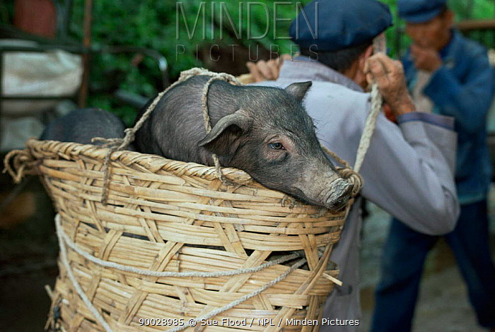 Pig carried to market in Dali, Yunnan province, China  -  Sue Flood/ npl