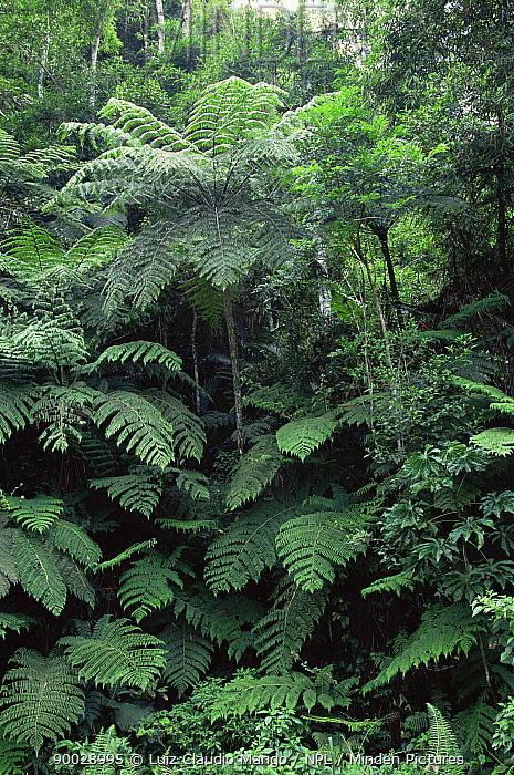 Giant tree fern (Cyathea, Alsophila armata) Intervales SP, Sao Paulo, Brazil  -  Luiz Claudio Marigo/ npl