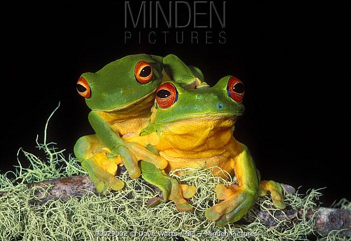 Australian Red-eyed Treefrog (Litoria chloris) pair Queensland, Australia  -  Dave Watts/ npl