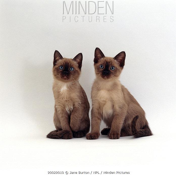 Domestic Cat (Felis catus) 9-weekTonkinese kittens, brother and sister  -  Jane Burton/ npl