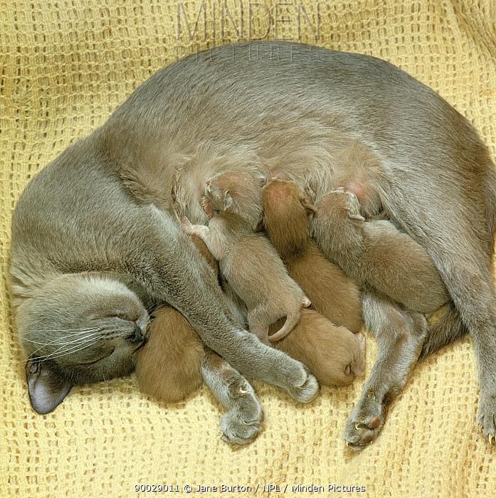 Domestic Cat (Felis catus) 2-day Burmese kittens suckling  -  Jane Burton/ npl