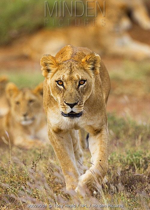 African Lion (Panthera leo) female, Laikipia, Kenya  -  Tony Heald/ npl