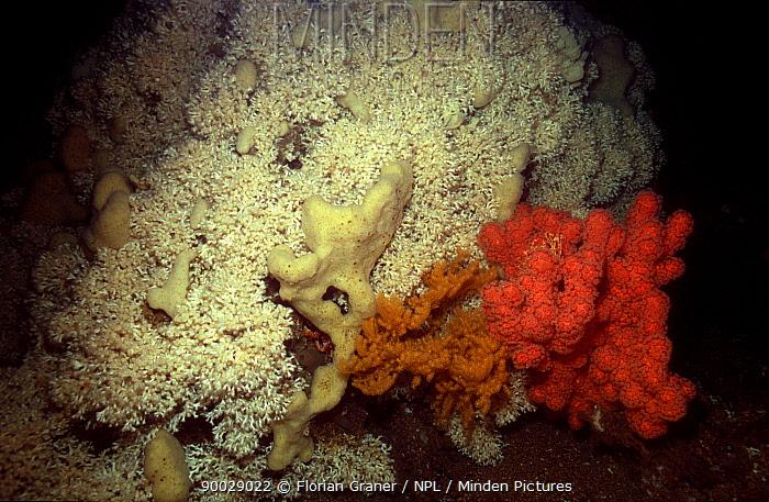Mixed cold water corals (Lophelia pertusa), Norway  -  Florian Graner/ npl