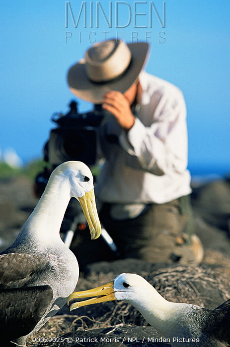 Cameraman Paul Stewart filming pair of Waved albatross (Phoebastria irrorata) Espanola Is, Galapagos  -  Patrick Morris/ npl