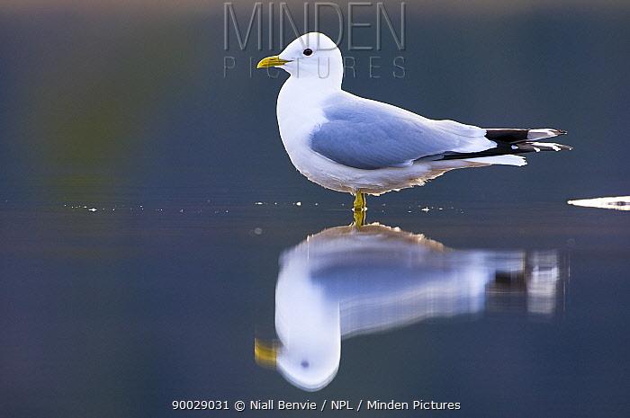 Mew Gull (Larus canus),, Tr�nelag, Norway  -  Niall Benvie/ npl