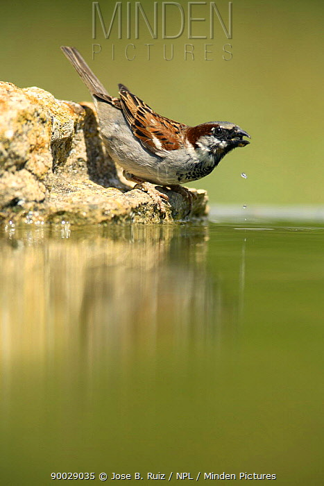 House Sparrow (Passer domesticus) male drinking, Moralet, Alicante, Spain  -  Jose B. Ruiz/ npl