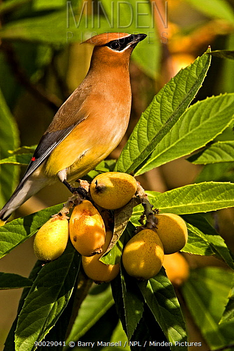 Cedar Waxwing (Bombycilla cedorum) perched on Japanese Plums, North Florida, USA  -  Barry Mansell/ npl