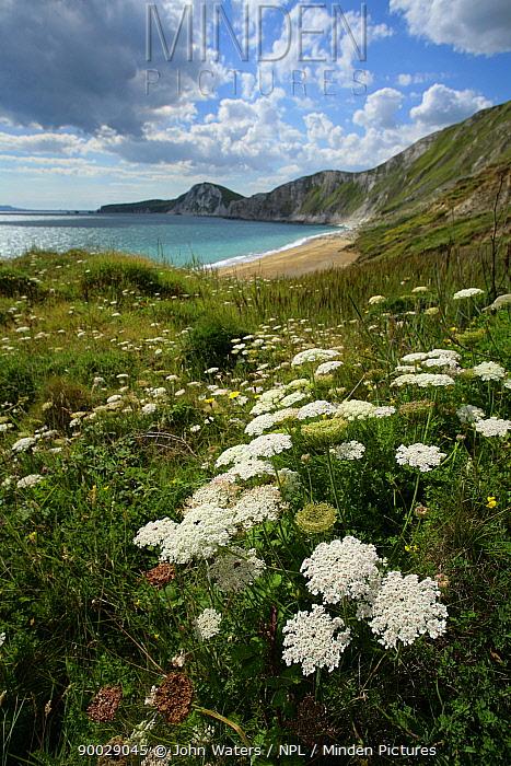 Carrot (Daucus carota) in flower along coastline, Worbarrow Bay, Dorset, United Kingdom  -  John Waters/ npl