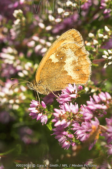 Gatekeeper (Pyronia tithonus) resting on Bell Heather (Erica cinerea), England, United Kingdom  -  Gary K. Smith/ npl