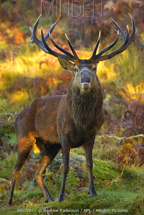 Red deer (Cervus elaphus) adult stag's breath visible in the cold dawn light as it roars during the October rut Leicestershire, UK  -  Andrew Parkinson/ npl