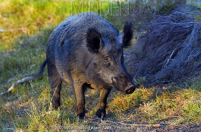 Wild Boar (Sus scrofa) male boar, captive, Scotland United Kingdom  -  David Kjaer/ npl