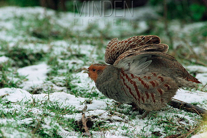 European Partridge (Perdix perdix) puffing up feathers to keep warm England Worcestershire  -  Mike Wilkes/ npl